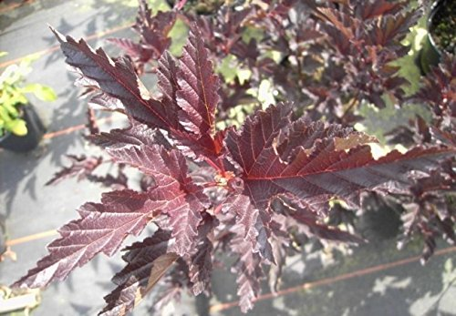 Blasenspiere Red Baron - Fasanenspiere - Physocarpus opulifolius Red Baron