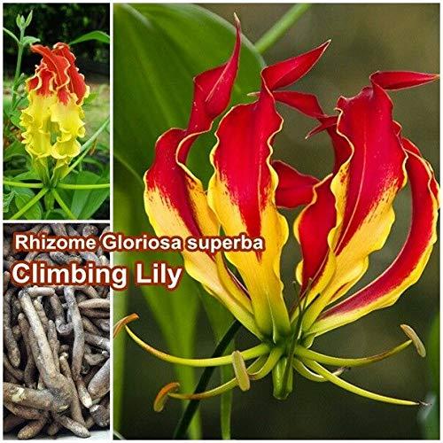 FERRY Bio-Saatgut Nicht nur Pflanzen: 3 Rhizome Gloriosa Super-Gloriosa Lilie Von Thai