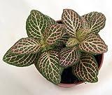 Pink Nerve Plant - Fittonia - Terrarium/Fairy Garden/House Plant -...