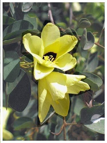 TROPICA - Arbre à Orchidées Saint Thomas (Bauhinia tomentosa) - 30 graines- Magie tropicale