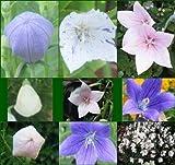 La quantità del pacchetto è 9467 Vendiamo solo semi Semi ad alto tasso di germinazione La restituzione della merce non è disponibile Nuovo -Flower (Platycodon) 'Fuji Mix' - Trasporto unito