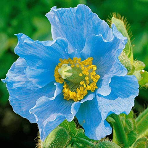 Qulista Samenhaus - Selten 50pcs Klatschmohn Lila Papaver rhoeas Mohnblume (Saatgut) Blumensamen mehrjährig winterhart für Bauerngarten