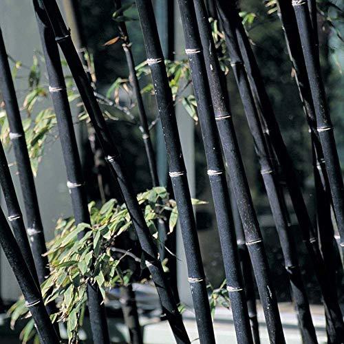 200 graines de graines fraîches bambou noir (Phyllostachys nigra)