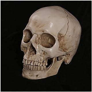 Resin Head Skull Sculpture Sketch Model - Scientific Anatomy Skull Head Muscle Bone Medical Art Drawing Model - Human Skul...