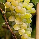 Kernlose Tafeltraube Weintraube Vitis vinifera Lakemont 60-100cm im Topf gewachsen