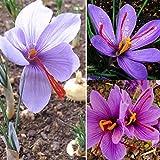 100pcs: 50pcs graines de crocus Sativus bulbes fleurs de safran meilleure plante de jardin d'épices bio