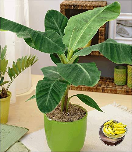BALDUR-Garten Musa Banana Tropicana, 1 Pflanze Zimmerbanane Zimmerpflanze Zimmerpflanze