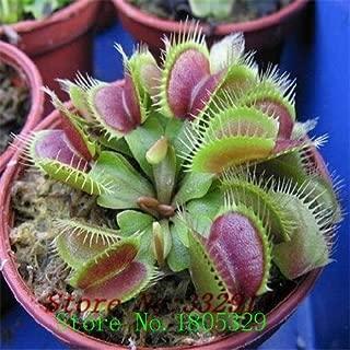 Bonsai sundew seeds Blue enchantress Carnivorous plant table Pot Drosera peltata Seeds Radiation Protection 100 seeds/bag