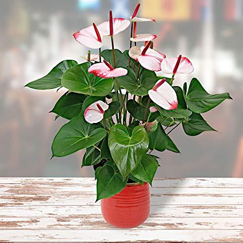 """Anthurium andreanum """"Hotlips""""   Flamingoblume   Exotische Zimmerpflanze   Höhe 35-40 cm   Topf-Ø 12 cm"""
