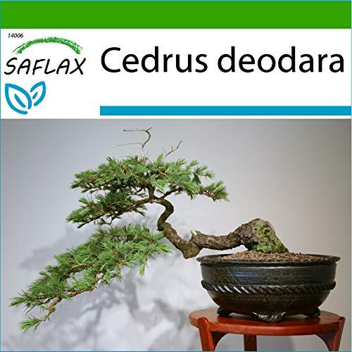 SAFLAX - Cèdre de l'Himalaya - 35 graines - Avec substrat - Cedrus deodara