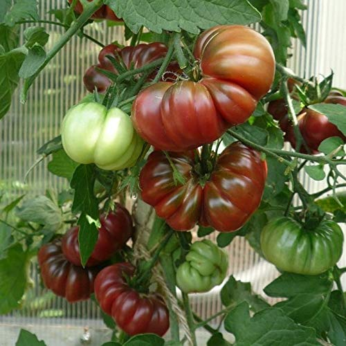 Cherokee Purple Tomatensamen für ca. 10 Pflanzen - alte Indianersorte, sehr gut im Geschmack