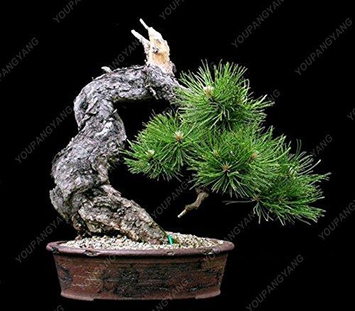 Semillas Semillas semillas de pino 50pcs Bonsai árbol de pino de Bonsai arce jardín de DIY combinado verdes plantas fáciles de cultivar el envío libre