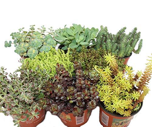 Exotenherz - 8 Winterharte Sedum-Pflanzen - Fetthenne - abwechslungsreiches Farbspiel