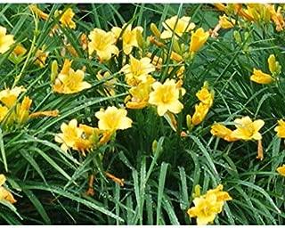 Yellow Flowers 25 Bareroot Hemerocallis Stella D'oros Daylilies - DBN3110