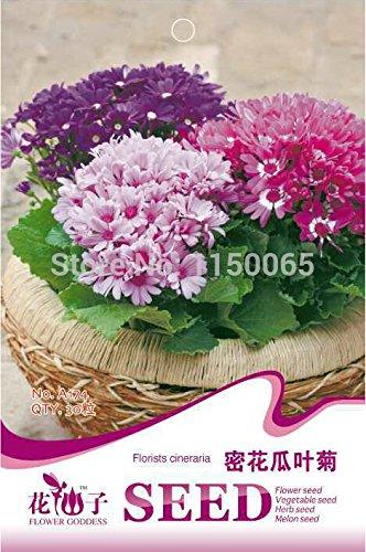 30pcs vente chaude Fleuristes Cineraria de semences, Senecio Cruentus semences, fleurs, Bonsai Usine jardin Livraison gratuite