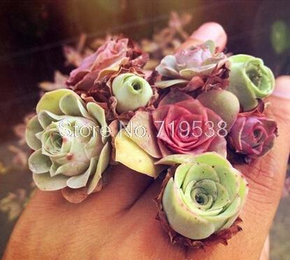 20seeds / sac de rayonnement Les fleurs en pot et sedum succulentes semences de qualité de la viande Meilleur Little Garden maison plante facile croître bonsaï d'été