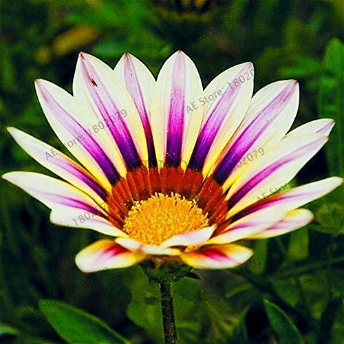 100pcs/sac couleur mixte Gazania rigens graines, fleurs Semences pour la maison et le jardin, bonsaï pour la plantation en plein air intérieur 10