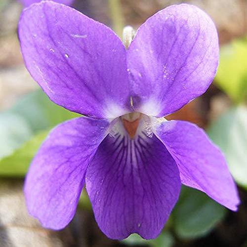 6 x Viola Odorata - Duft-Veilchen Kleincontainer 9cm x 9cm