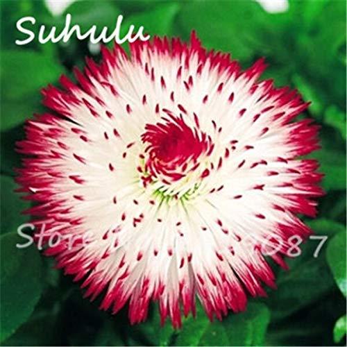 15: Schöne Gänseblümchen Blumensamen 30 Partikel Eiscreme Parfüm Chrysantheme Tha Souk Tanz Bonsai Blumensamen