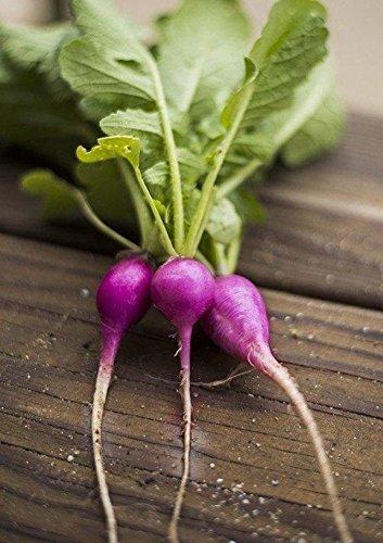 200 Violet Plum Radis Seeds- non pollinisés Ouvert OGM organique