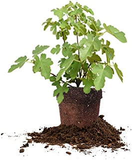 Perfect Plants Black Mission Fig Tree Live Plant, 1 Gallon, Includes Care Guide