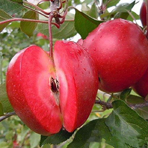 FATO. Egrow 50 Pca/Packung rotfleischige Apfel Samen redlove Apple-Obstbaum-Samen Garten Einpflanzen