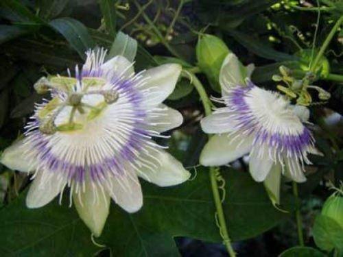 Passiflora eichleriana 10 graines