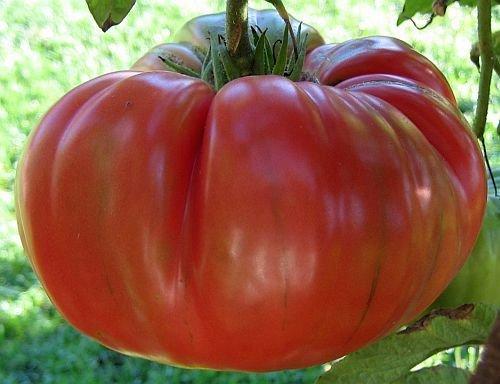 Tomate Red Brandywine - Fleischtomate - 10 Samen