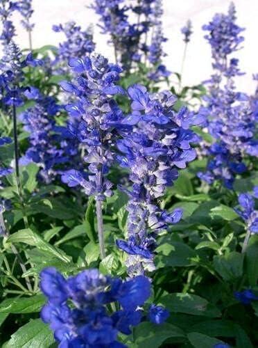 PHK Salvia Farinacea - New life Mealycup Mealy Regular discount 20 Sè'eds Sage