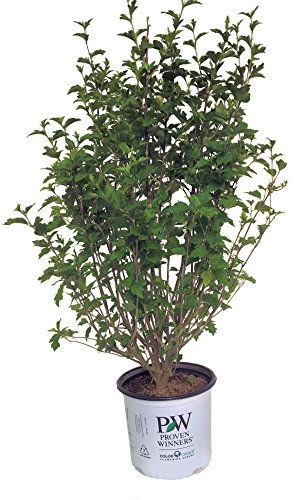 Proven Winners Lavender Chiffon Rose of Sharon - Hibiscus S. Lav. Chiffon - 3 Gallon