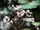 Schwanenblume (Butomus umbellatus) Teichpflanze...