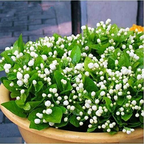 20pcs White Jasmine Samen Bonsai Blumensamen des arabischen Jasmins Aromatische Pflanzen gut riechen Perennial Topfblumensamen für Garten