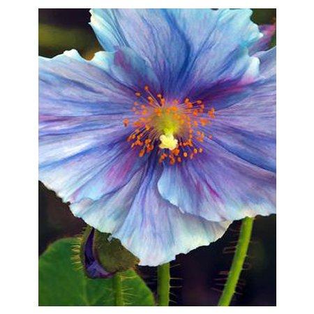 RARE Bleu clair floraison graines de pavot Pétale graines de fleurs en pot plantes bonsaï bricolage maison de jardin courtyard 200PCS