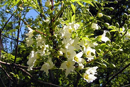 Gelbhorn Xanthoceras sorbifolium Pflanze 25-30cm Yellowhorn Goldenhorn Rarität