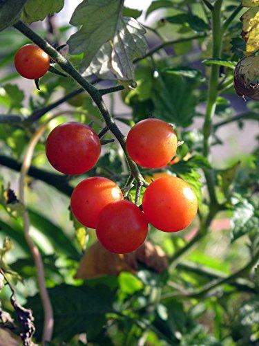 Rote Wildtomate 'Rote Murmel' (Solanum pimpinellifolium) Bio 10 Samen