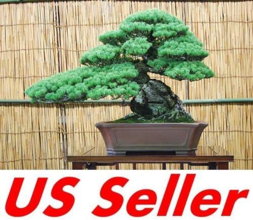 10 PCS árbol de pino japonés Bonsai Semillas T6, Beautiful Rare purificador de aire Bonsai: Amazon.es: Jardín