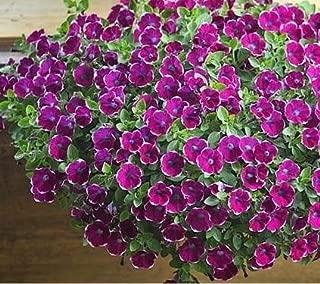 Ani Love Crab Scarce Rare Phantom Petunia Flower bonsais 100pcs Pack Garden Bonsai Petunia