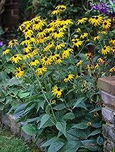 Perennial Farm Marketplace Rudbeckia f. 'Goldsturm' ((Black Eyed Susan) Perennial, 1 Quart', Golden Yellow Flowers