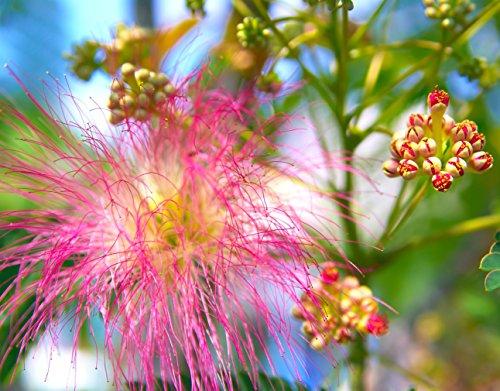Earthcare Seeds Albizia julibrissin Rosea Pink Persian Silk Tree 30 Seeds (Albizia julibrissin f. rosea)