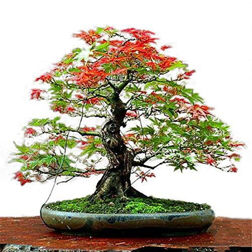 TENGGO Egrow 50PCS/Pack Arce Semillas Canad¨¢ Mini Arce Rojo Bonsai Jard¨ªn DIY Arbol Bonsai Planta - 1