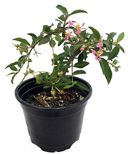 Barbados Cherry Plant - Malpighia emarginata - Indoors/Out - 4' Pot