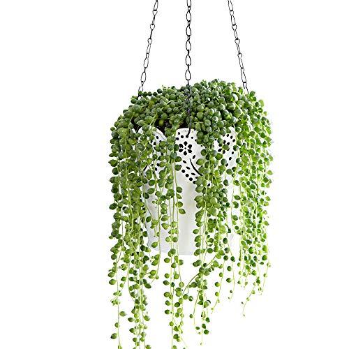 Senecio rowleyanus | Erbsenpflanze | Sukkulenten Zimmerpflanze | Hängepflanze Echt | Höhe 30-35 cm | Topf-Ø 14 cm
