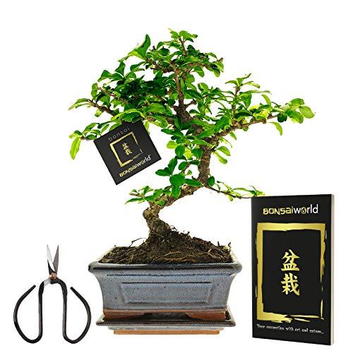 Bonsaiworld Bonsai-Set - Ideales Einsteiger-Pflegeset mit Buch & Schere - S-Form, ca. 10 Jahre alt - Pflegeleicht, tolle Dekoration für Wohnzimmer, Badezimmer & Büro - Pflanzenhöhe: 25-30 cm
