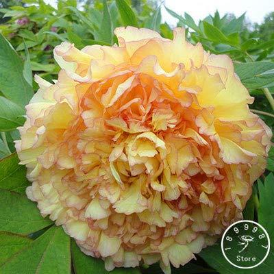 SEMILLAS Sump fresca 10pcs de flores de peonía para plantar amarillo rojo claro