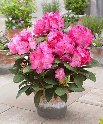 Ferry 200pcs rari Rododendro Azalea Bonsai Piante Fiore assomiglia a Sakura ciliegio Giapponese Train Pianta in Vaso Decor Garden: 2