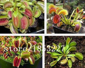Dionaea graines Muscipula géant Clips Venus Flytrap Seeds 100 pcs / pack insectivores fleur bonsaï