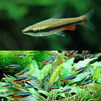 (熱帯魚)カージナルテトラ(ワイルド)(10匹) + ナノストムス・ベックホルディ(6匹) 北海道・九州航空便要保温