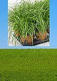 3 Töpfe | Katzengras Cyperus Zumula für Katzen | fertig gewachsen in super Qualität | 12 cm Blumentopf frisches echtes Gras | 3 Töpfe...