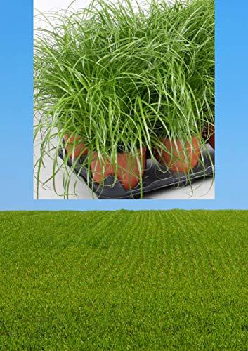 3 Töpfe | Katzengras Cyperus Zumula für Katzen | fertig gewachsen in super Qualität | 12 cm Blumentopf frisches echtes Gras | 3 Töpfe pestizidfrei