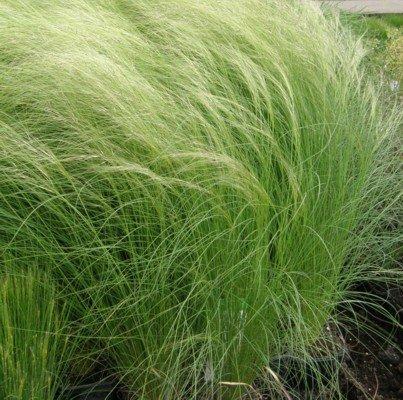 lichtnelke - Zartes Federgras (Stipa tenuissima PONY TAILS)